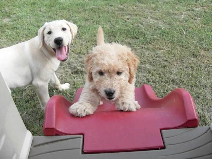 puppy raiser � patriot paws